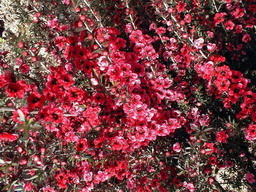 LEPTOSPERMUM scoparium Red Damask