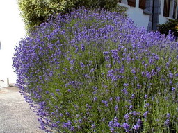 LAVANDULA x.intermedia Dutch Lavander
