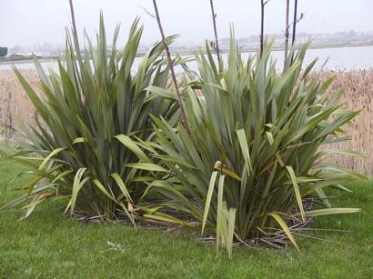 Phormium tenax lin de nouvelle z lande vert p pini re for Site de plante en ligne