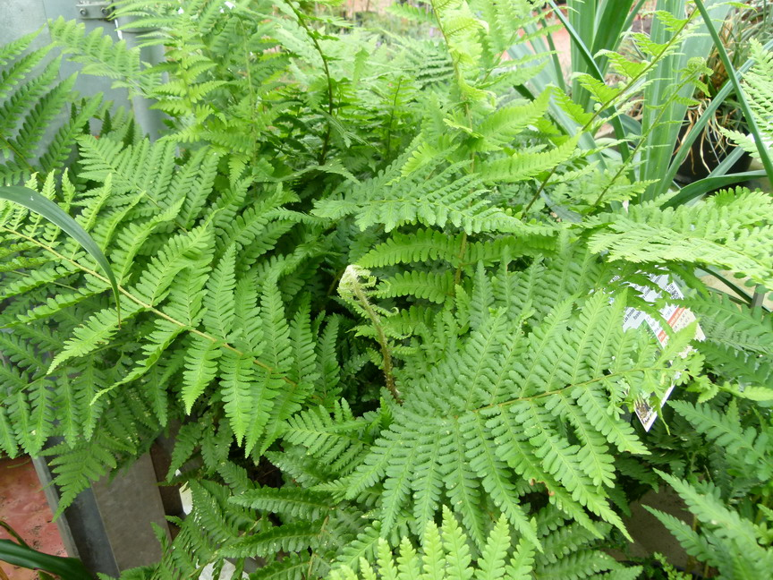 Dryopteris filix mas foug re m le p pini re en ligne for Commande plante en ligne