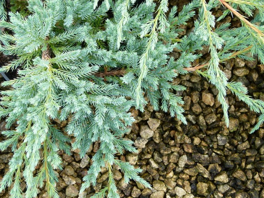 Juniperus Blue Carpet Cena - Carpet Vidalondon
