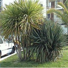 cordyline indivisa palmier de nouvelle z lande indivisa p pini re en ligne de kerzarc 39 h. Black Bedroom Furniture Sets. Home Design Ideas