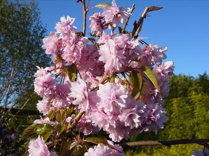 Prunus Serrulata Kiku Shidare Sakura Cerisier Fleurs Pleureur