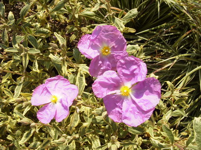 CISTUS Golden Treasure ®