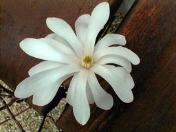 magnolia stellata magnolia fleurs en toile p pini re en ligne de kerzarc 39 h. Black Bedroom Furniture Sets. Home Design Ideas
