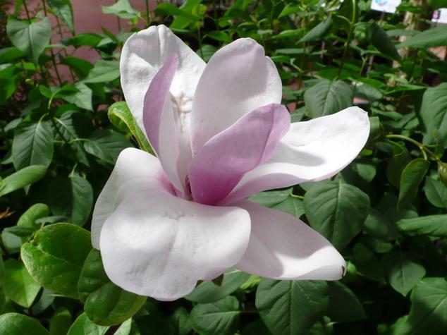 Magnolia lennei magnolia de soulange for Commande de plantes