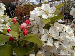 MALUS Everest ® : floraison de début de printemps.