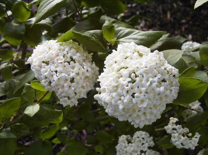 Viburnum viorne boule de neige parfum e - Boule de neige plante ...
