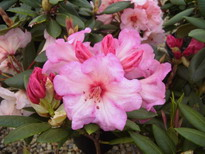 RHODODENDRON hybride Virginia Richards