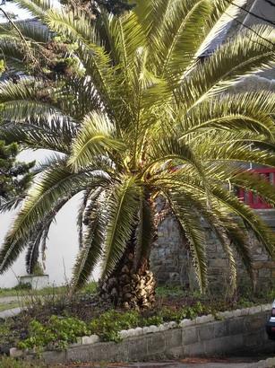 phoenix canariensis palmier dattier des canaries p pini re en ligne de kerzarc 39 h. Black Bedroom Furniture Sets. Home Design Ideas