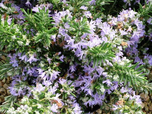 Rosmarinus officinalis pointe du raz romarin rampant for Plante 21 en ligne