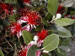 FEIJOA sellowiana Coolidge