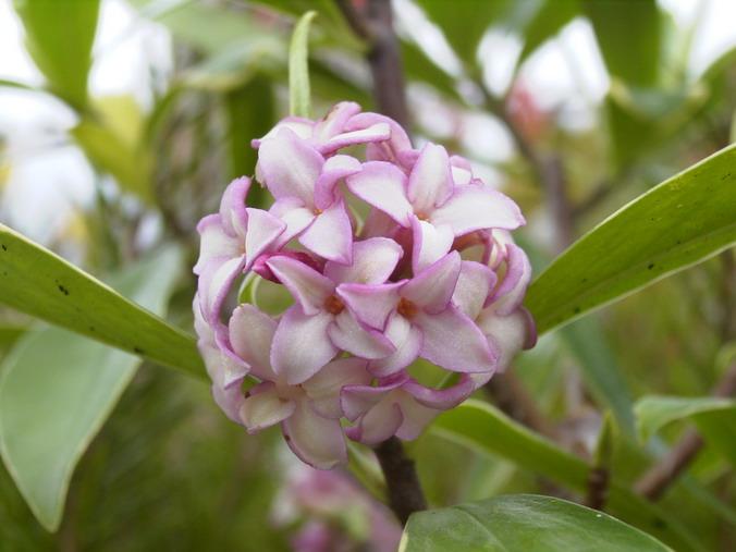 Daphne odora aureomarginata daphn e de l 39 inde daphn for Arbuste daphne odora aureomarginata