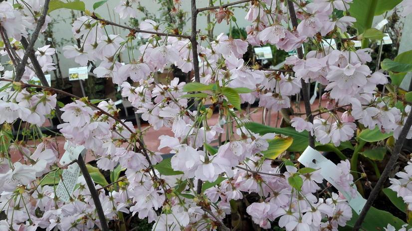 Prunus accolade cerisier fleurs accolade p pini re en for Commande de plantes en ligne