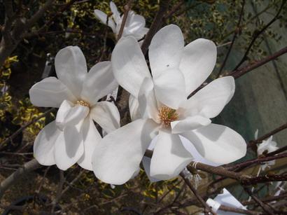 magnolia stellata royal star magnolia fleurs en toile royal star p pini re en ligne de. Black Bedroom Furniture Sets. Home Design Ideas