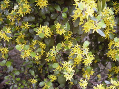 COROKIA x.virgata Bronze King