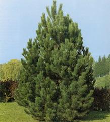 pinus nigra pin noir d 39 autriche p pini re en ligne de kerzarc 39 h. Black Bedroom Furniture Sets. Home Design Ideas