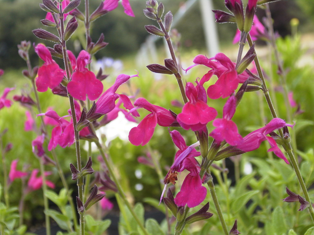 Salvia microphylla kew sauge arbustive kew p pini re for Commande de plantes