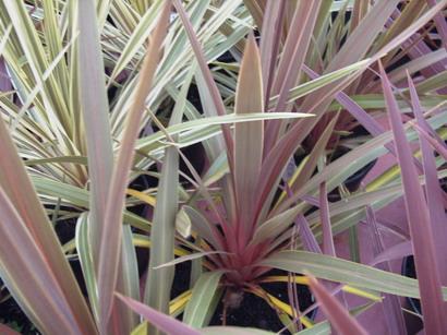 cordyline australis sundance palmier de nouvelle z lande sundance p pini re en ligne de. Black Bedroom Furniture Sets. Home Design Ideas