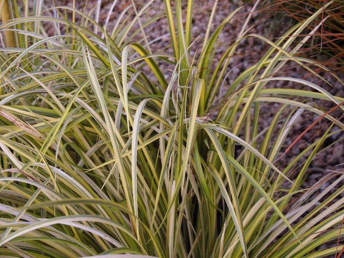 Acorus gramineus ogon acorus ogon p pini re en ligne for Commande de plantes en ligne