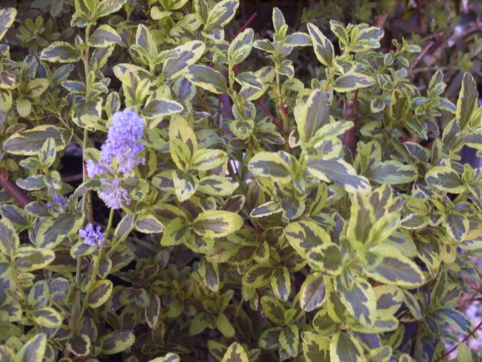 Ceanothus el dorado c anothe el dorado lilas de for Catalogue de plantes en ligne
