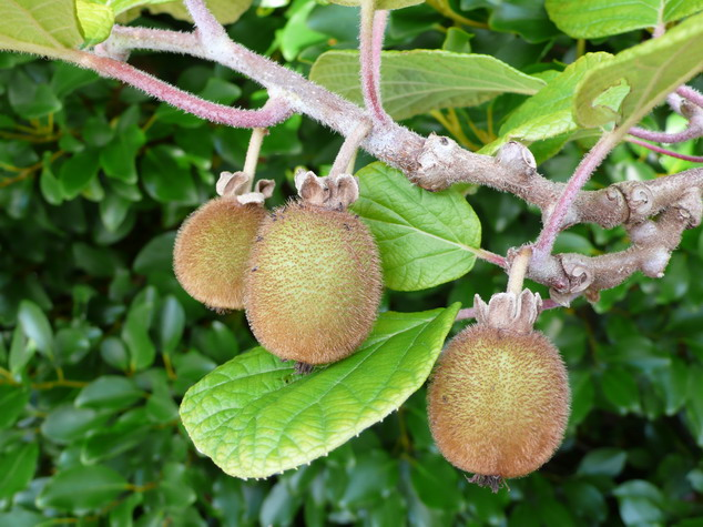 ACTINIDIA chinensis Solo : fruits en cours de maturation.