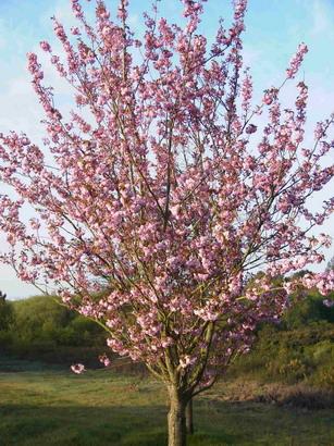 prunus serrulata kanzan cerisier fleurs p pini re en ligne de kerzarc 39 h. Black Bedroom Furniture Sets. Home Design Ideas