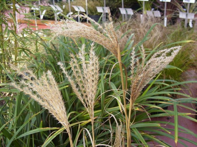 Carex pendula carex pendula la che p pini re en ligne for Commande de plantes en ligne