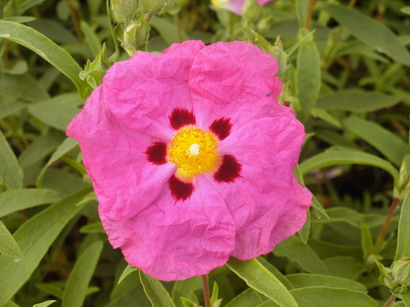 CISTUS x.purpureus Betty Taudevin