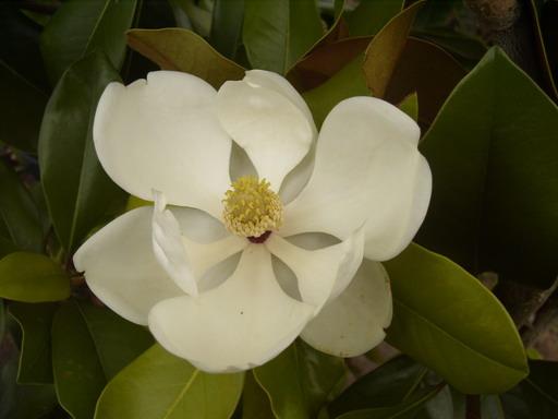 magnolia grandiflora fran ois treyve magnolia fran ois treyve laurier tulipier magnolier. Black Bedroom Furniture Sets. Home Design Ideas