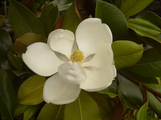 magnolia grandiflora fran ois treyve floraison de juillet. Black Bedroom Furniture Sets. Home Design Ideas