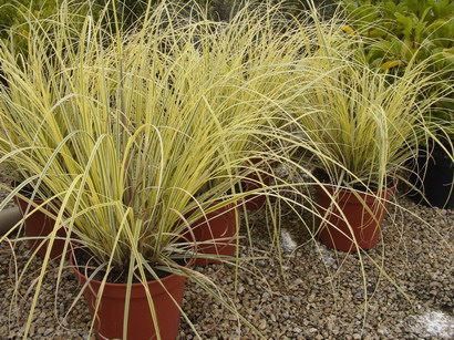 CORTADERIA selloana Splendid Star ®