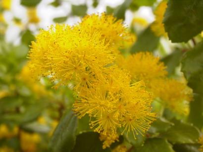 Arbustes d 39 ornement floraison jaune p pini re en ligne de kerzarc 39 h - Arbuste floraison printaniere jaune ...