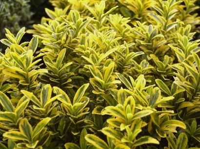 Euonymus japonicus microphyllus aureovariegatus fusain for Plantes acheter ligne