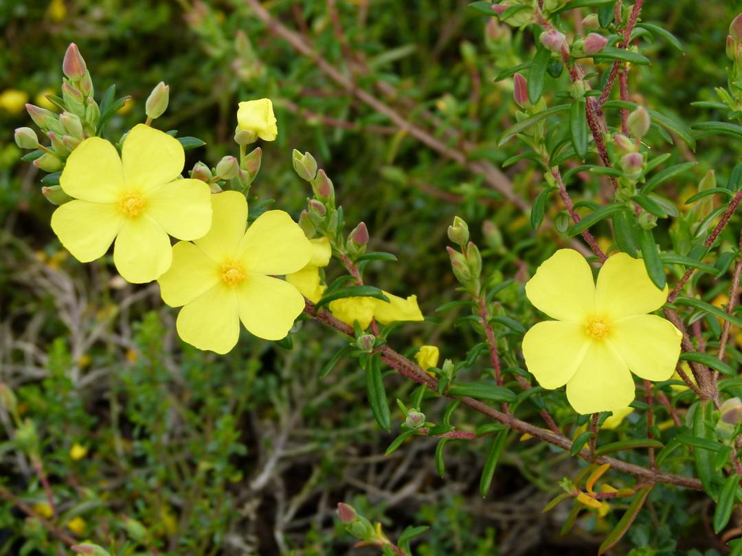 Arbustes d 39 ornement arbustes rampants et couvre sol floraison jaune p pini re en ligne de - Arbuste floraison printaniere jaune ...