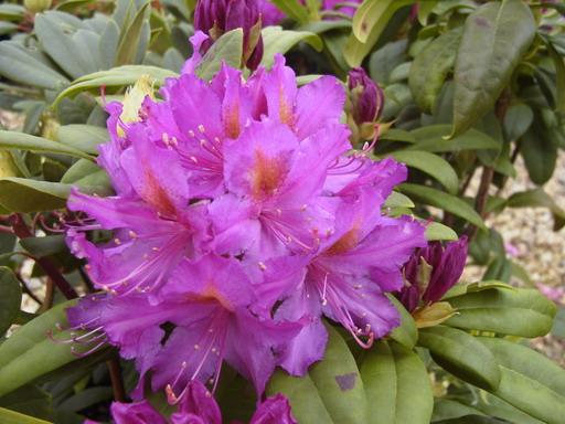 Rhododendron hybride libretto rhododendron hybride for Commande plante en ligne