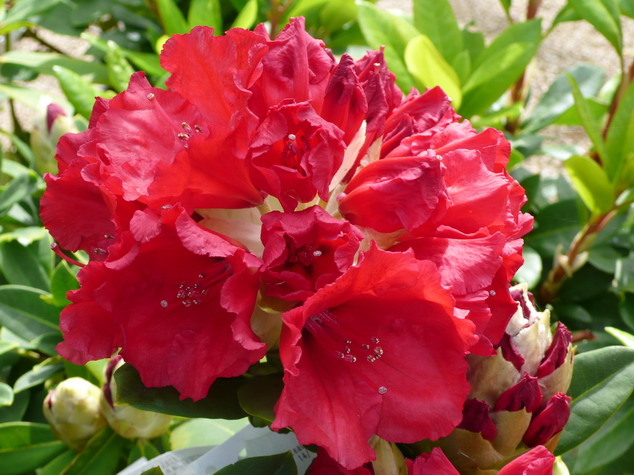 rhododendrons hybrides floraison rouge p pini re en. Black Bedroom Furniture Sets. Home Design Ideas