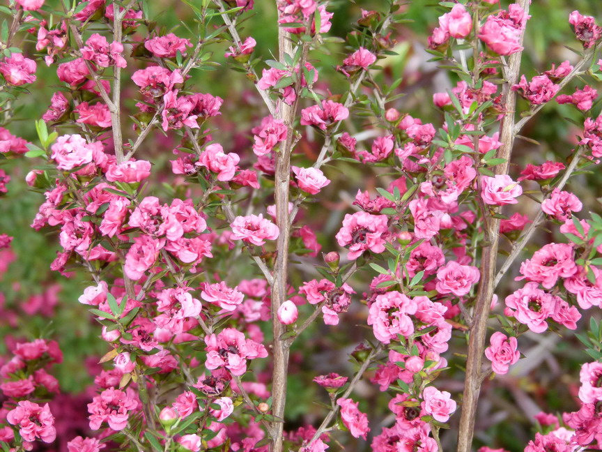 LEPTOSPERMUM scoparium Winter Cheer