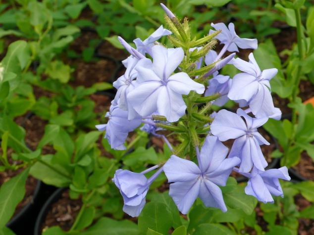 Plumbago capensis bleu fonc dentelaire du cap p pini re en ligne de kerzarc 39 h - Plante grimpante fleur bleue ...