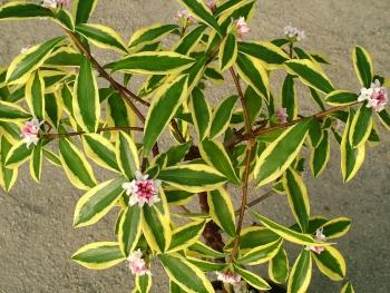 Daphne odora maijina daphn e de l 39 inde daphn odorant for Arbuste daphne odora aureomarginata