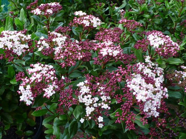 arbustes de grand d veloppement feuillage persistant floraison rose p pini re en ligne de. Black Bedroom Furniture Sets. Home Design Ideas