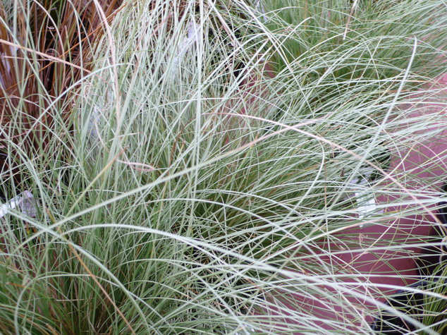 Carex comans carex comans la che p pini re en ligne for Site de vente de plantes en ligne