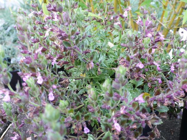 Arbustes d 39 ornement arbustes de rocailles floraison for Site de vente de plantes en ligne