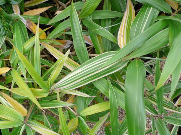 Hibanobambusa tranquillans shiroshima bambou p pini re for Commande plante en ligne