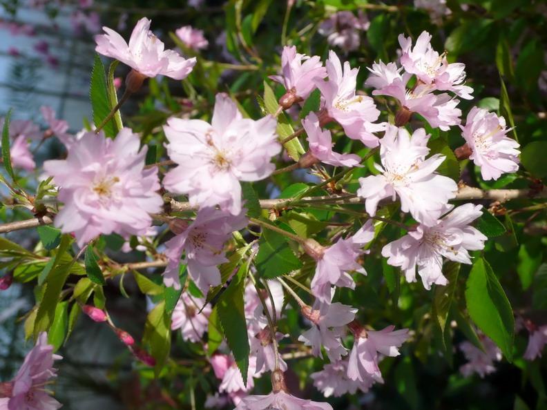 Prunus subbhirtella fukubana cerisier fleurs for Commande de plantes en ligne