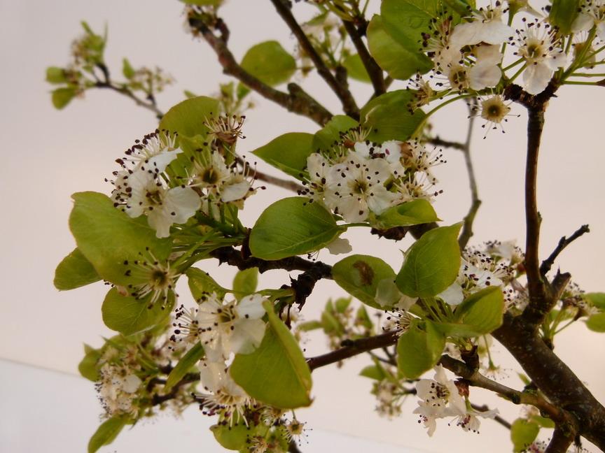 Pyrus calleryana chanticleer poirier d 39 ornement poirier for Site de plante en ligne