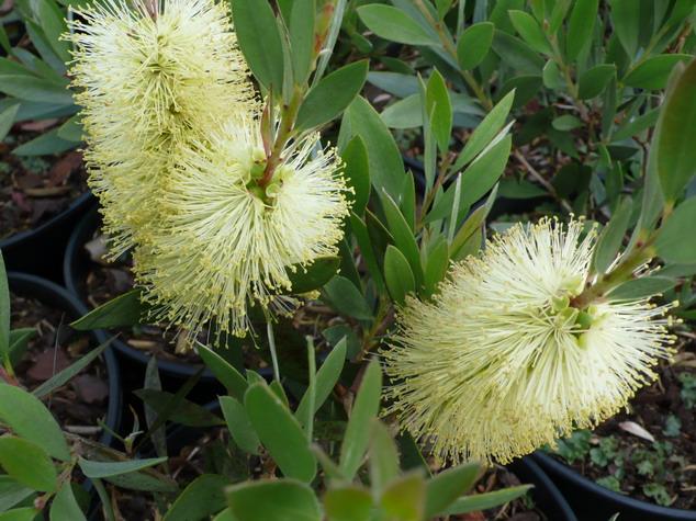 Callistemon salignus rince bouteille australien salignus for Plante rince bouteille