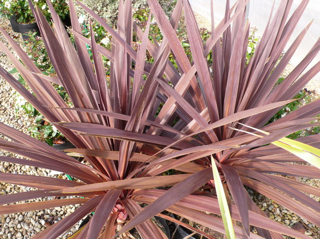 cordyline australis torbay red star palmier de nouvelle z lande torbay red star p pini re en. Black Bedroom Furniture Sets. Home Design Ideas