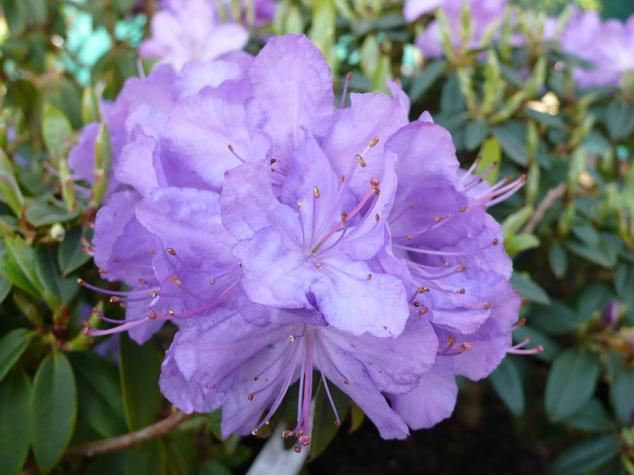 Rhododendron moyen augustinii rhododendron moyen for Commande de plantes en ligne