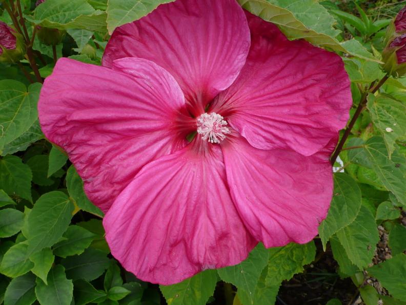 hibiscus moscheutos rose vif hibiscus des marais rose vif ketmie des marais p pini re en. Black Bedroom Furniture Sets. Home Design Ideas